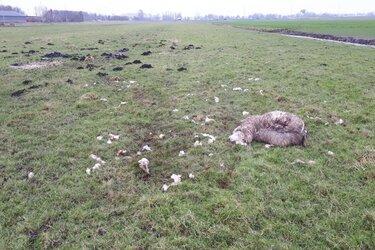 Meerdere schapen verslonden in weiland Wijdewormer